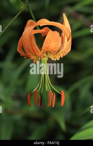 Columbia Tiger Lily flower, (Lilium columbianum), Cambridge, UK. - Stock Photo