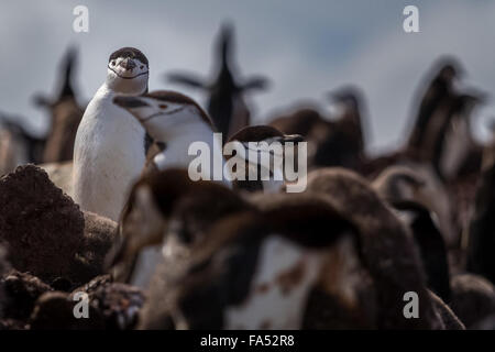 Antarctica - Colony of chinstrap penguins with one isolated in focus looking at at camera - Stock Photo