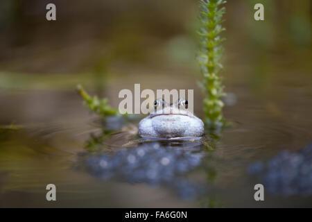 Common frog (Rana temporaria) croaking in a garden pond - Stock Photo