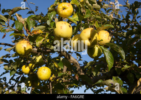 Ripe Golden Delicious Apples grow on a tree at RHS Wisley in Surrey - Stock Photo
