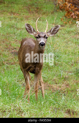 Young Black tailed Deer Buck - Stock Photo