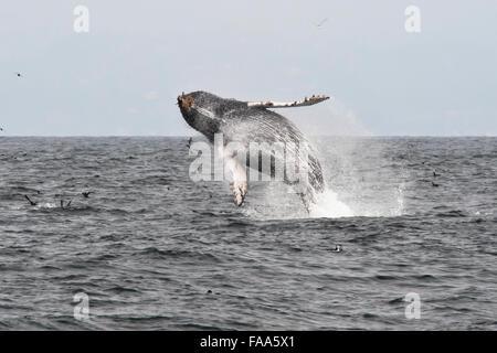 Humpback Whale calf (Megaptera novaeangliae), breaching high in the air. Monterey, California, Pacific Ocean. - Stock Photo