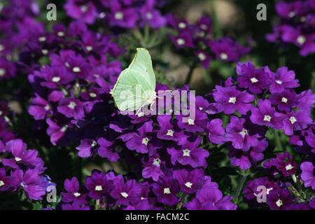 Female brimstone butterfly (Gonepteryx rhamni) feeding on aubretia - Stock Photo