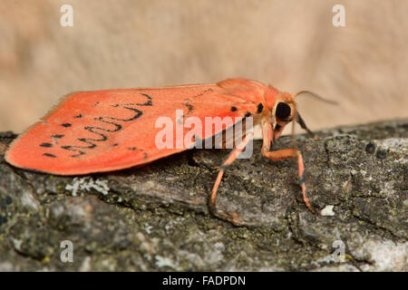 Rosy footman moth (Miltochrista miniata). A unique moth in the family Erebidae at rest on bark, in profile - Stock Photo
