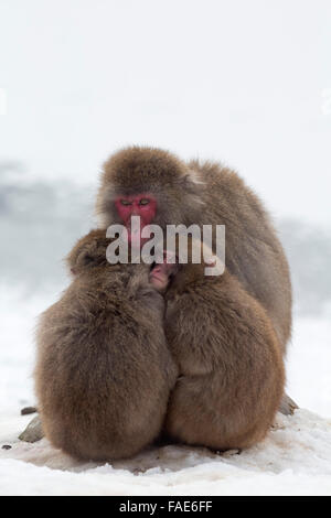 Snow monkeys (Macaca fuscata)  huddling together for warmth, Japanese macaque, captive, Highland Wildlife Park, - Stock Photo