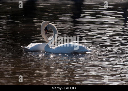 Two white swans creating a heart shape - Stock Photo