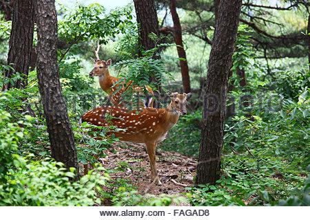 deer in bukaksan mountain - Stock Photo