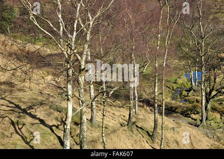 Silver Birch trees in bright spring sunshine near Dovestone reservoir, Greater Manchester. - Stock Photo