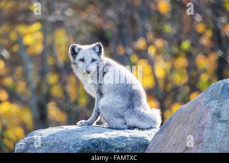 Arctic (Vulpes lagopus)  fox in autumn golden light - Stock Photo