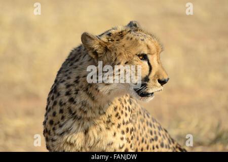 Cheetah (Acinonyx jubatus), Cheetah Conservation Fund, near Otjiwarongo, Namibia - Stock Photo
