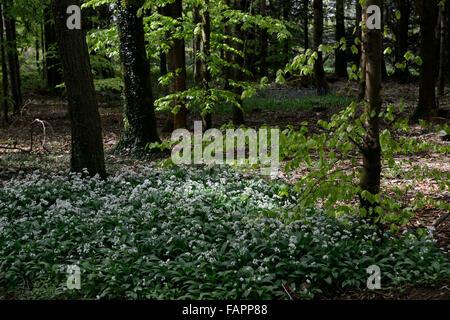Allium ursinum wild garlic white flower flowers flowering carpet mass massed wood woodland RM floral - Stock Photo