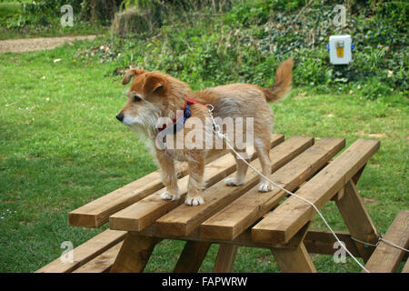 Dog on picnic table - Stock Photo