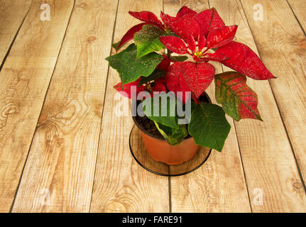 Poinsettia is a traditional Christmas Flower. It is known as Bethlehem Star in some countries. Flower in a pot standing - Stock Photo