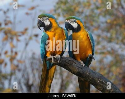 Pair of South American Blue and yellow macaws (Ara ararauna) - Stock Photo