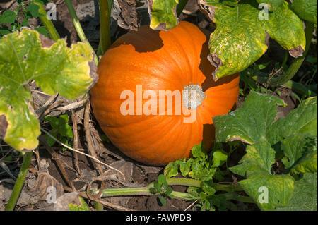 Hokkaido pumpkin, Red Hokkaido (Cucurbita maxima) growing, vegetable growing area in Höfles near Nuremberg, Middle - Stock Photo