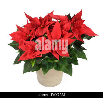 Red poinsettia plant in vase isolated on white - Stock Photo