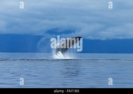 A Humpback whale leaps from the calm waters of the Inside Passage, Chatham Strait, Southeast Alaska - Stock Photo