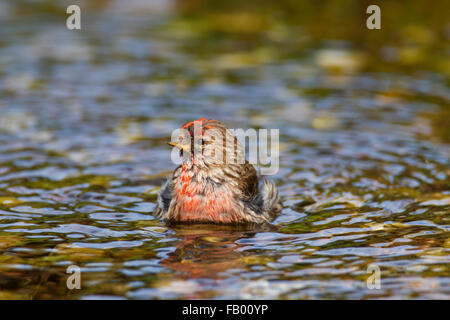 Common redpoll (Acanthis flammea / Carduelis flammea), male bathing in shallow water of stream - Stock Photo