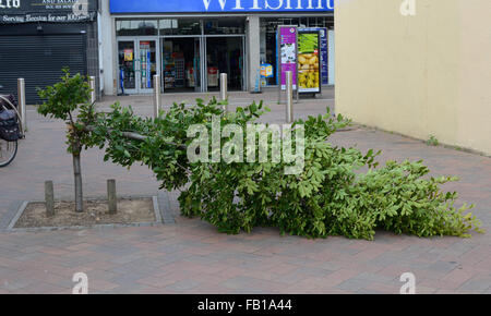 Tree pulled down by vandals, Beeston, Nottingham, England. - Stock Photo