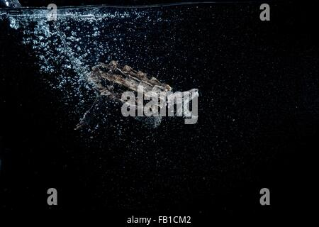 Underwater side view of alligator snapping turtle, mouth open trailing bubbles - Stock Photo