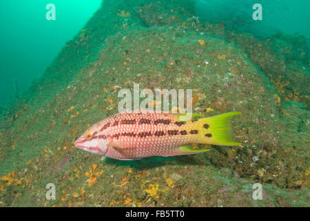 Tropical fish Mexican hog fish at Cabo San Lucas, Mexico coral reef - Stock Photo