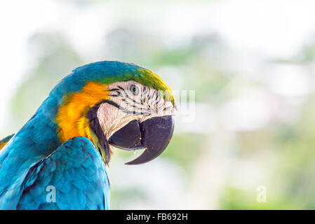 Closeup of a blue and yellow macaw in Puerto Narino, Colombia - Stock Photo