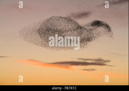 Starling flock (Sturnus vulgaris) at sunset, with peregrine falcon (Falco peregrinus) flying close to the flock. - Stock Photo
