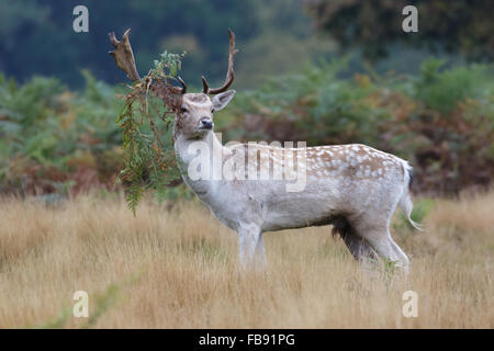 Pale coloured Fallow Deer rut buck (Dama dama) with bracken hanging from its' antlers. - Stock Photo