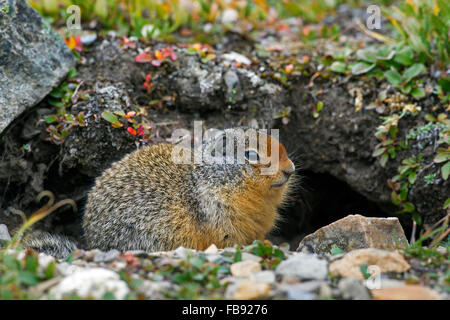Columbian ground squirrel (Urocitellus columbianus / Spermophilus columbianus) in front of burrow, native to Canada - Stock Photo