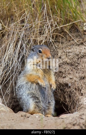 Columbian ground squirrel (Urocitellus columbianus / Spermophilus columbianus), standing upright in front of burrow - Stock Photo