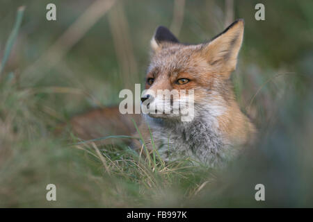Red Fox / Rotfuchs ( Vulpes vulpes ) rests during daytime in high grass, looks suspicious, close up. - Stock Photo