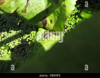 Newly metamorphosed frog (Rana temporaria) and yellow swarming fly (Thaumatomyia notata) on the stem of a kingcup - Stock Photo