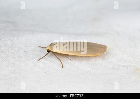 Dingy Footman Moth; Eilema griseola; UK - Stock Photo
