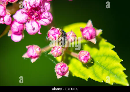 Close-Up Of Insect On Pink Flower Bud - Stock Photo