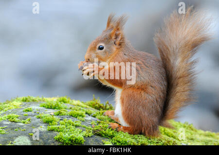 Red Squirrel (Sciurus vulgaris) perched on moss covered boulder alongside  Cotter beck, in Cotterdale, Yorkshire - Stock Photo