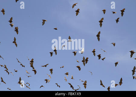 Black Flying Fox flying during daytime due to disturbance at roost - Stock Photo