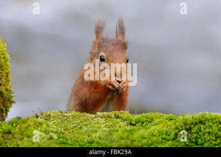 Red Squirrel (Sciurus vulgaris) perched by moss covered bolder alongside the Cotterbeck, in Cotterdale, Yorkshire - Stock Photo