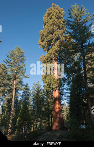 Giant trees, Sequoia and Kings Canyon National Parks, California, USA - Stock Photo