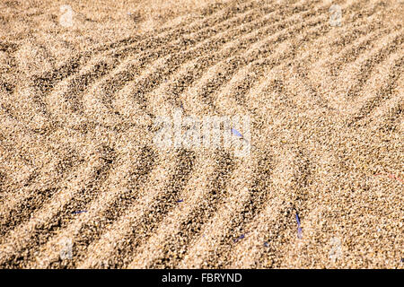 Green Arabica beans drying on the Bolaven Plateau in Southern Laos, South East Asia. - Stock Photo