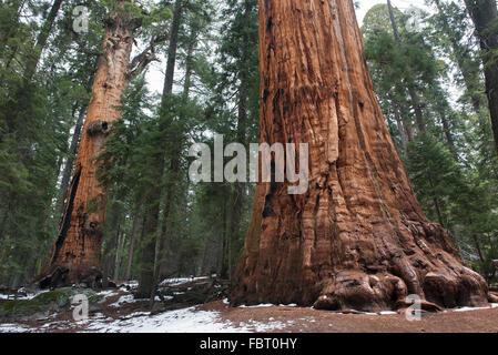 Giant sequoias, Sequoia and Kings Canyon National Parks, California, USA - Stock Photo