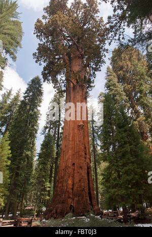 Giant sequoia tree, Sequoia and Kings Canyon National Parks, California, USA - Stock Photo