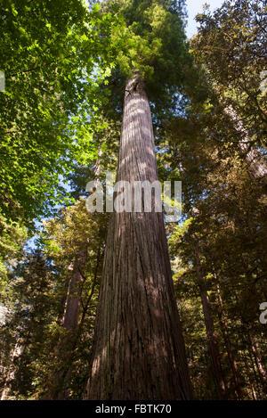 Giant trees, Redwood National Park, California, USA - Stock Photo