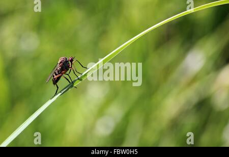 Fly on blade of grass - Stock Photo