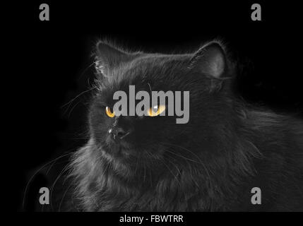 black persian cat on black background - Stock Photo