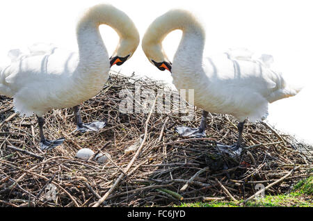 Two swans on the nest - Stock Photo
