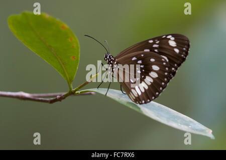 Common Crow Butterfly (Euploea core) - Stock Photo
