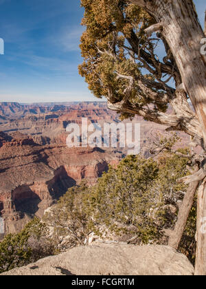 Gnarled tree in front of Grand Canyon, South Rim, Arizona, USA. - Stock Photo