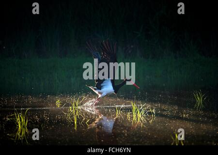 Black stork (Ciconia nigra), flying off from water pond, Bavaria, Germany. - Stock Photo
