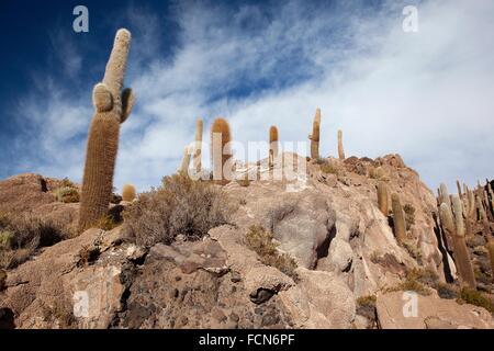 Cacti on Isla de los Pescadores, Salar Uyuni, Southwest Highlands, Bolivia, South America. - Stock Photo