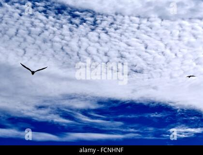 Two seagulls in flight across a deep blue sky with white clouds. - Stock Photo